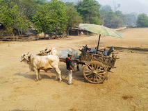 Les mules transportent en charrette et équipent rester sur la terre jaune Photos stock