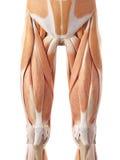 Les muscles antérieurs de jambe illustration libre de droits