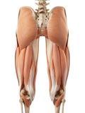 Les muscles de jambe de stimulant Photographie stock libre de droits
