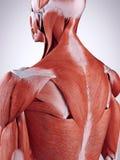 Les muscles du dos supérieurs illustration de vecteur