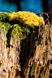 Les mycètes jaunes de matière inflammable répandent sur un joncteur réseau d'arbre Photographie stock
