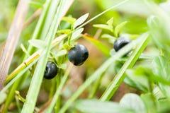 Les myrtilles sauvages mettent en place en fruit antioxydant mûr de forêt image libre de droits
