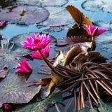 Les nénuphars exotiques roses dans l'étang tropical Tobago ajustent Photo stock