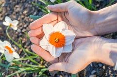 Les narcisses fleurissent dans la paume de votre main Image stock