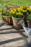 Les narcisses fleurissent dans le pot de fleurs sur la terrasse en bois à côté de galvanisent photo libre de droits