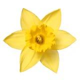 Les narcisses isolent sur le blanc. Fleur de ressort Image libre de droits