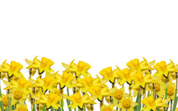 Les narcisses jaunes fleurissent, fin, le fond blanc Sachez comme jonquille, daffadowndilly, narcisse, et jonquille Images libres de droits