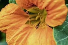 Les nasturces fleurissent un genre d'usine dans le Brassicaceae de famille photo libre de droits