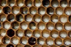 Les nids d'abeilles d'abeille développent des larves des insectes Larves des abeilles photo stock