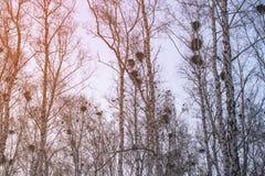 Les nids de corneille sur des bouleaux au coucher du soleil et à la lune image stock