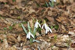 Les nivalis de Galanthus de perce-neige dans une forêt de zone inondable images stock