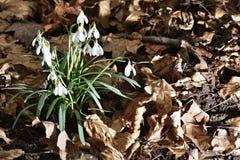 Les nivalis de Galanthus de perce-neige dans une forêt de zone inondable Photographie stock libre de droits