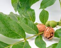 Les noix écossées sur une branche verte image stock
