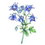 Les noms communs d'ancolie bleue fleurissante de branche : capot du ` s de mamie ou colombin illustration de vecteur