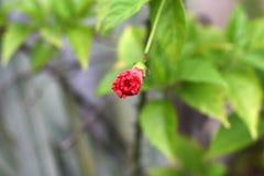 Les nouveaux bourgeons roses se développent avec l'élargissement de tiges photos stock