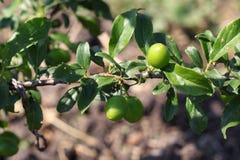 Les nouveaux fruits ne sont pas mûrs sur un plan rapproché de branche sur le fond du jardin images libres de droits