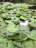 Les nouveaux parcs publics dans Bucha, Ukraine ont les protections de lis vertes fraîches - l'EUROPE Images stock