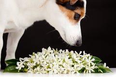 Les odeurs de Jack Russell aiment des fleurs de jasmin photo stock