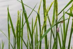 Les oeufs roses des gisements et des escargots de riz de Cherry Shell On sont les ennemis du riz image libre de droits