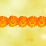 Les officinalis oranges et jaunes de Calendula fleurit (souci de pot, ocres rouges, souci commun, souci de jardin), fond de textu Photographie stock libre de droits