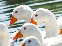 Les oies blanches nagent dans l'étang du troupeau Photo libre de droits