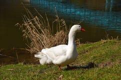 Les oies blanches s'approchent de la rivière Image libre de droits