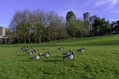 Les oies cacardant le long de l'herbe dans une ville se garent Photo stock