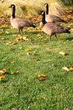 Les oies canadiennes s'approchent du lac photos libres de droits