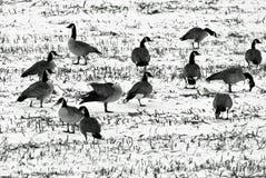 Les oies dans une neige ont couvert la zone photo stock
