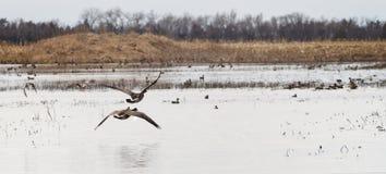 Les oies de Canada effectuent le vol à travers des marécages du Dakota du Sud photos stock