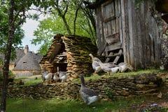 Les oies de gras de Foie sur une oie traditionnelle cultivent Photographie stock libre de droits