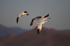 Les oies de Ross en vol avec un fond de ciel bleu Images stock