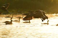 Les oies du Canada volent par le ciel et la brume de matin photo libre de droits