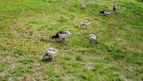 Les oies et le bec canadiens Peck The Green Grass And de poussins branche sur table d'écoute au sol banque de vidéos