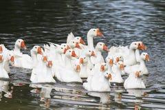 Les oies et les canards blancs nagent et plongent dans l'étang photo libre de droits