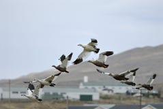 Oies et Malouines de montagne Images libres de droits