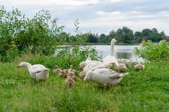 Les oies frôlent sur le rivage de lac La vie dans le village, Ukraine Photos stock