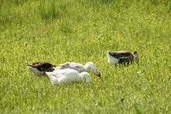 Les oies grises et blanches mangent une jeune herbe verte juteuse Images stock