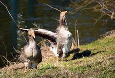 Les oies s'approchent de la rivière Photographie stock