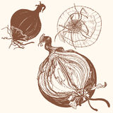 Les oignons bruns frais de vecteur gravent le dessin Photo stock