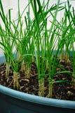 Les oignons verts se développent Photos libres de droits