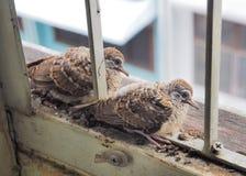 Les oiseaux âgés d'une semaine sur le toit sont prêts à voler Images stock