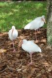 Les oiseaux blancs d'IBIS se tiennent dans une jambe Photo stock