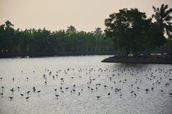 Les oiseaux blancs de héron sur le riz met en place au temps de coucher du soleil dans Nonthaburi Thaïlande Images stock