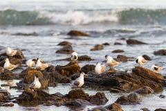 Les oiseaux blancs sur des roches chez Myponga échouent dans l'Australie du sud austral Photographie stock libre de droits