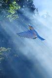 Les oiseaux bleus pilotent au soleil le concept de ressort Image stock