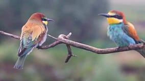 Les oiseaux colorés par amusement se reposent sur les branches banque de vidéos