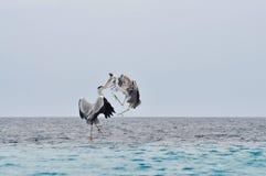 Les oiseaux combattent dans l'entre le ciel et la terre Photo libre de droits