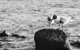 Les oiseaux dans l'amour dans le bébé échouent, Aruba Photo libre de droits
