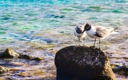 Les oiseaux dans l'amour dans le bébé échouent, Aruba Photos libres de droits